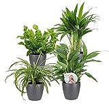 """4er Set""""Air so pure""""   Luftreinigende Zimmerpflanzen Set   Vier Grünpflanzen mit Topf   Elho Übertopf   Höhe 25-30 cm   Topf-Ø 12 cm - 2"""