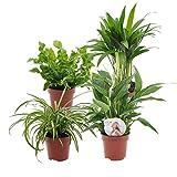 """4er Set""""Air so pure""""   Luftreinigende Zimmerpflanzen Set   Vier Grünpflanzen mit Topf   Elho Übertopf   Höhe 25-30 cm   Topf-Ø 12 cm - 3"""