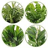 """4er Set""""Air so pure""""   Luftreinigende Zimmerpflanzen Set   Vier Grünpflanzen mit Topf   Elho Übertopf   Höhe 25-30 cm   Topf-Ø 12 cm - 4"""